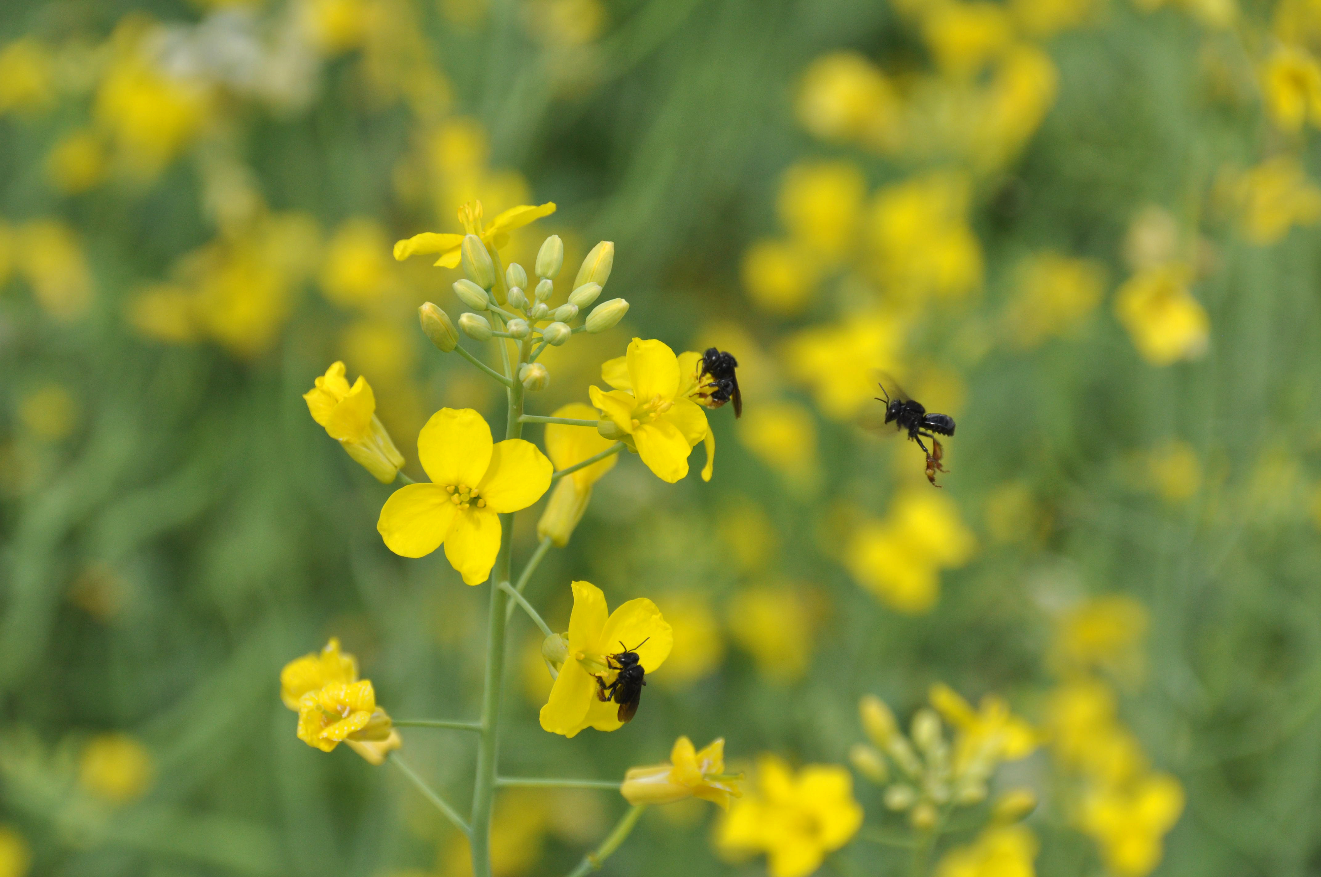 Trigona spinipes irapuã em flor de canola | Foto: Fernando Dias