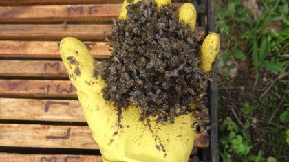 Abelhas mortas por contaminação Foto Daniel Gonçalves