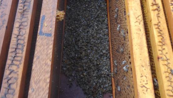 Colmeia com abelhas mortas dentro Foto Daniel Gonçalves