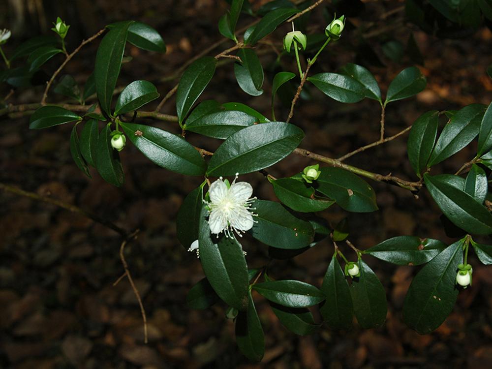 Foto: Hipolito Paulino -  Plantas: Eugenia involucrata - Myrtaceae