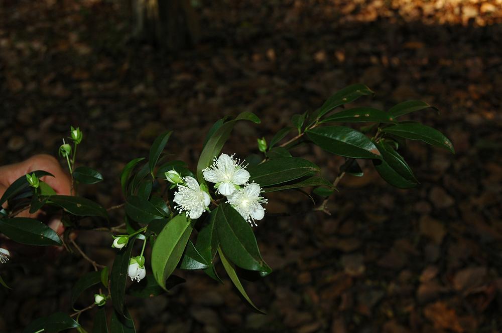 Foto: Hipolito Paulino - Planta: Eugenia involucrata - Myrtaceae