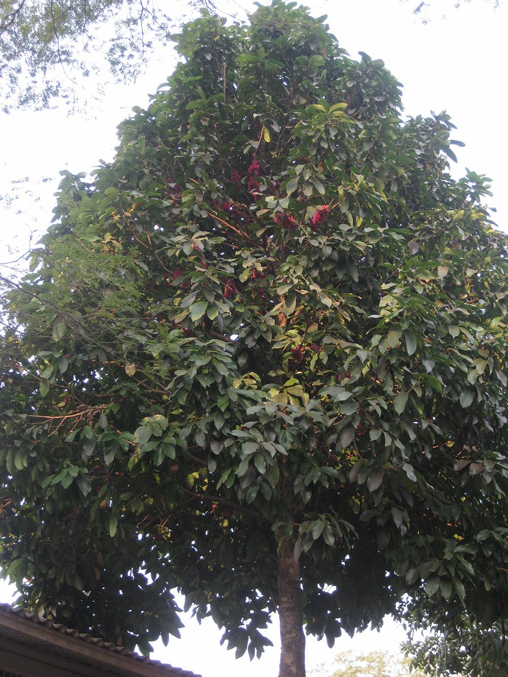 Foto: Hipolito Paulino - Syzygium malaccense (L.) Merr. & L.M. Perry - Jambo vermelho