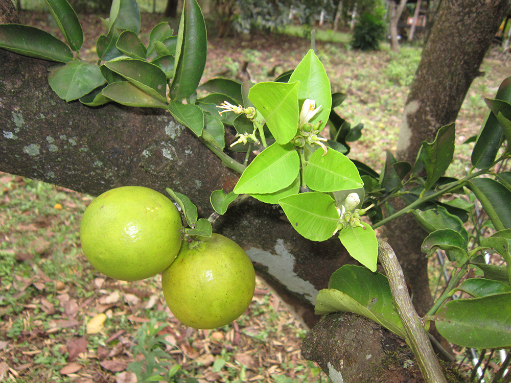 Foto: Hipolito Paulino -  Planta: Citrus aurantifolia (Swingle)