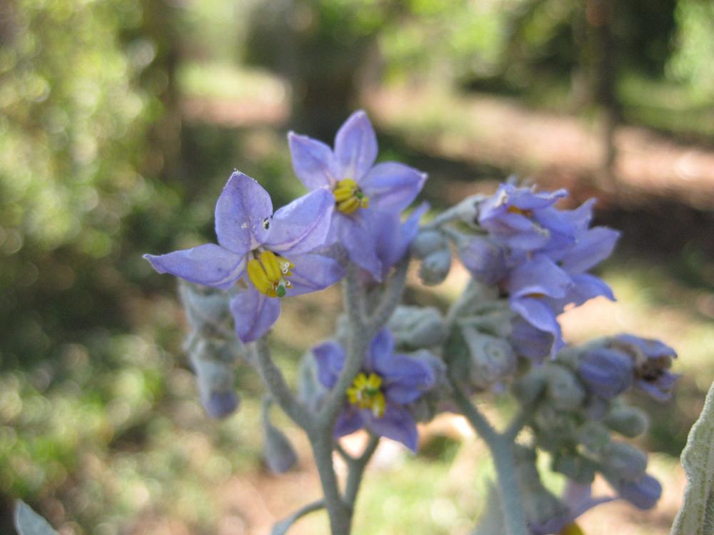 Foto: Hipolito Paulino - Planta: Solanum mauritianum Scop.  - Fumo-bravo