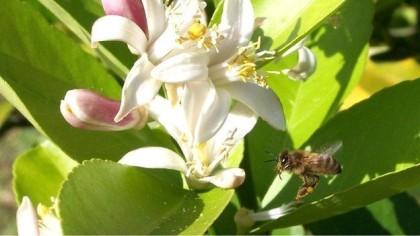 Muitas plantas têm cafeína no néctar para espantar predadores como lagartas