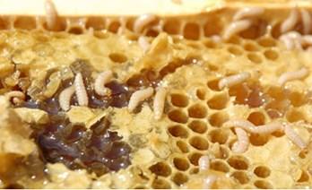 """Conhecida como """"pequeno besouro das colmeias"""", a espécie Aethina túmida é o novo desafio para os apicultores paulistas (foto: divulgação)"""