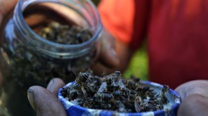 Apicultores afirmam que a mortandade de colmeias inteiras está ligada à soja transgênica