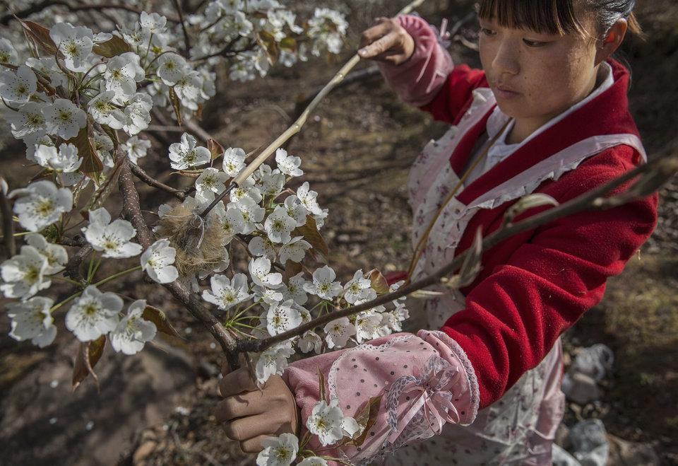 HANYUAN, CHINA - A agricultora He Meixia, 26, poliniza uma árvore de peras. (Foto de Kevin Frayer/Getty Images)