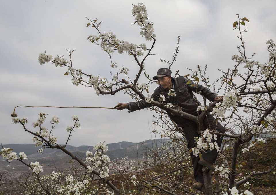 HANYUAN, CHINA -MARCH 25: Chinese farmer He Guolin, 53, climbs in a tree during hand pollination on their pear trees on March 25, 2016 in Hanyuan County, Sichuan province, China. Heavy pesticide use on fruit trees in the area caused a severe decline in wild bee populations, and trees are now pollinated by hand in order to produce better fruit. Farmers pollinate the pear blossom individually. Hanyuan County describes itself as the 'world's pear capital', but the long-term viability of hand pollination is being challenged by rising labor costs and declining fruit yields. A recent United Nations biodiversity report warned that populations of bees, butterflies, and other pollinating species could face extinction due to habitat loss, pollution, pesticides, and climate change. It noted that animal pollination is responsible for 5-8% of global agricultural production, meaning declines pose potential risks to the world's major crops and food supply. (Photo by Kevin Frayer/Getty Images)